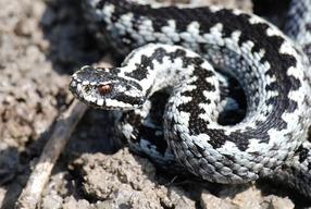 Что делать при укусе змеи?